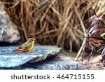 Small photo of Male Orange-breasted waxbill or Zebra waxbill (Amandava subflava).
