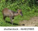 Chinese Muntjac Deer Walking...