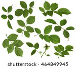 Stock photo green rose leaves isolated on white background 464849945