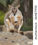 Yellow Footed Rock Wallaby Wit...