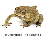 Asian Common Toad On White...