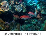 glasseye snapper fish in... | Shutterstock . vector #464948144