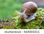 Burgundy Snail  Helix  Escargo...