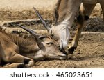 two antelopes cuddling up | Shutterstock . vector #465023651