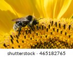 Honeybee Collects Pollen From...
