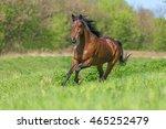 bay purebred horse running in a ... | Shutterstock . vector #465252479