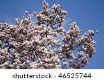 blooming magnolia tree | Shutterstock . vector #46525744
