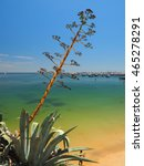 Small photo of Agave americana at atlantic beach of Cascais in Portugal