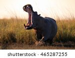 The Common Hippopotamus ...