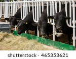 Small photo of Aberdeen Angus calves in feedlot