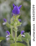 Small photo of Annual Clary or Red-Topped Sage - Salvia viridis Mediterranean wild flower