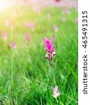 "Small photo of Siam Tulip field, called ""Dok Kra Jiao"" in Thai or Curcuma alismatifolia flower in dry dipterocarp forest,Sai Thong National Park Chaiyaphum,Thailand"