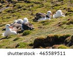 Small photo of Another look at the Albatrosses resting on the rocks. Westpoint Island, the Falklands
