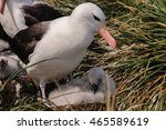 Small photo of Black-Browed Albatrosses, Image from Westpoint Island