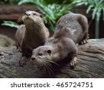 Pair Of  Asian Small Clawed...