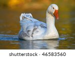 Portrait Of A Goose In Water