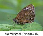 brown butterfly   aphantopus... | Shutterstock . vector #46588216