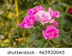 pink rose against a blurred... | Shutterstock . vector #465920045