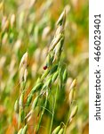 Small photo of Oats seed (lat. Avena sativa) is a genus of annual herbaceous plants of the family Gramineae or Grasses (Poaceae). The plant in the seed field