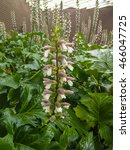 Small photo of Bear's breeches (Acanthus mollis) is a herbaceous perennial plant with an underground rhizome in the genus Acanthus.
