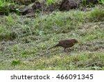 Hunting Blackbird On Grass