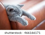 Stock photo young cute cat resting on leather sofa the british shorthair pedigreed kitten with blue gray fur 466166171