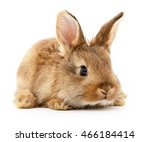 Stock photo small brown rabbit isolated on white background 466184414