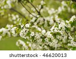 Spring Cherry Blossoms With...