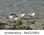 Small photo of Lesser Crested Terns resting