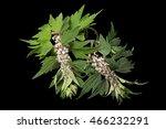 Motherwort  Leonurus Cardiaca ...