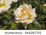 fragrant romantic beautiful... | Shutterstock . vector #466281701