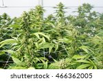 large marijuana plants with... | Shutterstock . vector #466362005