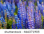 blue lupine blossom flowers on... | Shutterstock . vector #466371905