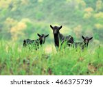 Black Goat On The Grass