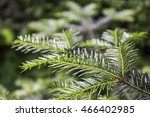 Small photo of close-up branch of European silver fir (Abies alba)