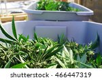 marijuana bud clippings... | Shutterstock . vector #466447319