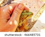 Small photo of Tame edible frog