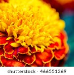 Macro Of Marigold Flower ...