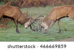 A Pair Of Red Deer Stags ...