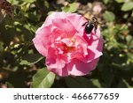 A  Pink Hybrid Tea Rose With A...