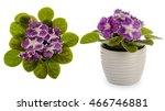 African Violet  Saintpolia  In...