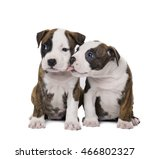 Stock photo two amstaff puppy on white background in studio 466802327