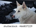 the white husky. hunting the... | Shutterstock . vector #466837229