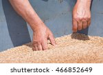 Farmer Looking At Wheat Grain...