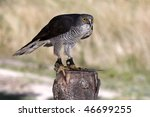 Small photo of African Goshawk bird of prey standing on a tree stump