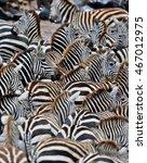 zebras in the big herd during... | Shutterstock . vector #467012975
