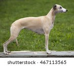 Dog Breeds Whippet  Greyhound...