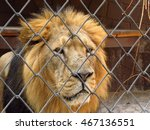 Portrait Of Sad Lion In The Cage
