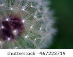 Part Of A Dandelion   Macro