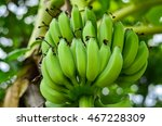 Bunch Of Raw Banana Tree In Th...